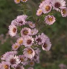 aster Kylie
