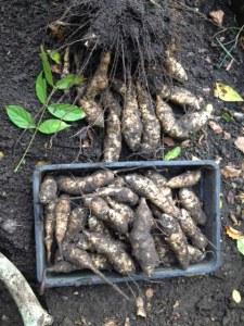 Julia artichokes