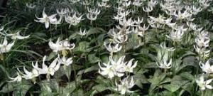 erythroniums