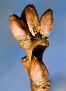oak-bud1