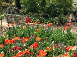 tulip bed 2