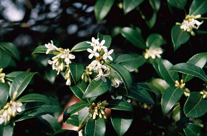 Friday march 11th 2016 friday gardening group it has clusters of small highly scented white flowers occasionally followed by a few black fruits it can be more attractive as a hedge than privet mightylinksfo