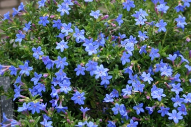 Small blue perennial flowers images flower decoration ideas small blue perennial flowers image collections flower decoration ideas small blue perennial flowers image collections flower mightylinksfo