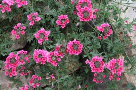 Verbena-tenera-Sissinghurst_i-1159_s-64480_r-0