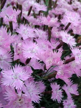 DIBP_0_Dianthus_Baths-Pink