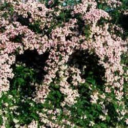 kolkwitzia-amabilis-pink-cloud_-beauty-bush-pot-size-3l-fs-9029-p