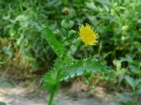 annual-sow-thistle