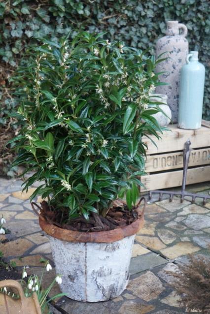 Sarcococca-Winter-Gem-Garden-01.jpg