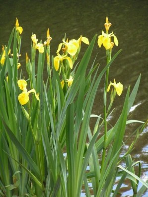 bigstock-Iris-Pseudacorus-563155