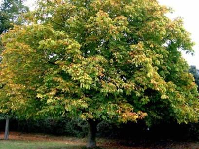 treeid-horsechesnut04.jpg
