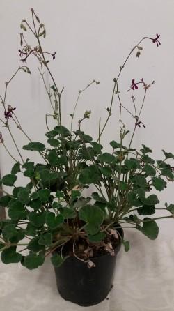 Pelargonium sidoides.jpg