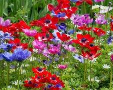 anemone-de-caen-2_1024x1024