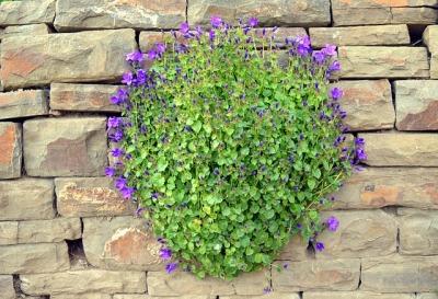 bellflower-2299585_640.jpg