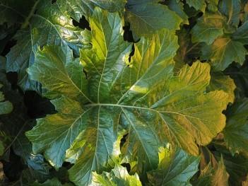 acanthus-mollis-1117769_640